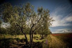 DSC_1059_olivi_papaveri